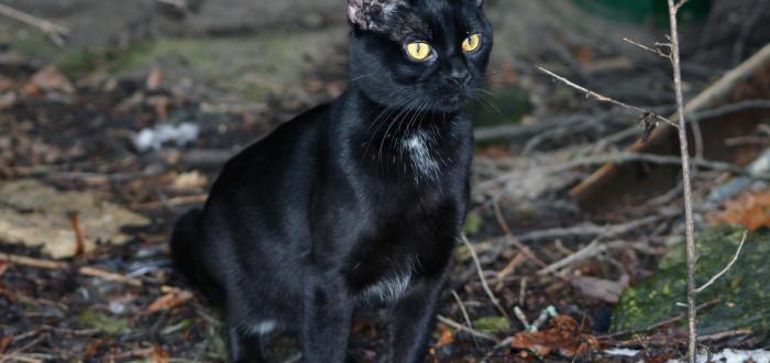 černá kočička drsná