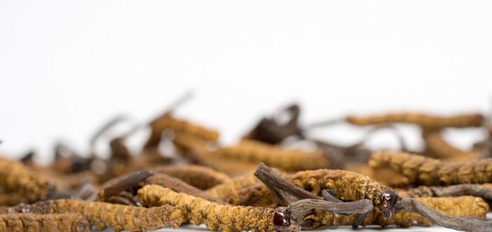 Cordyceps aneb housenice čínská vám dodá vitalitu nejenom v zimě