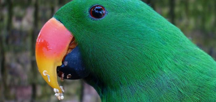 Papoušek randění